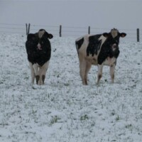 vaches_neige